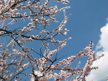 Flowers are apricots. Flowers apricots on branches on a background blue sky Royalty Free Stock Images