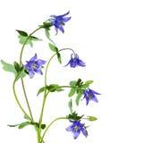 Flowers aquilegia Stock Image