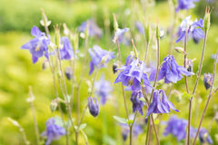 Flowers Aquilegia (columbine). Royalty Free Stock Photography