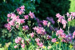 Flowers of  Aquilegia vulgaris  European columbine, Common columbine, Granny`s nightcap, Granny`s bonnet stock photo