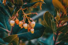 Flowers of arbutus unedo. Outdoors Royalty Free Stock Photos