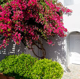 Flowers  in architecture    europe cyclades santorini old town Stock Photos