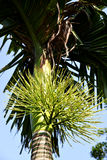 Flowers of areca nut tree. From garden Stock Photos