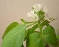 White basil flowers Royalty Free Stock Photo