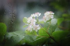 Blooming Aronia behind the wet window Stock Photography