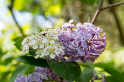 Flowers. Of Aronia and Syringa Stock Photos