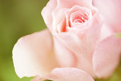 Flowers art closeup. Pink rose. Floral background. See my other works in portfolio Royalty Free Stock Photo