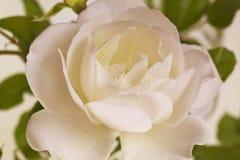 Flowers art closeup. Wedding holiday card Stock Photos