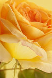Flowers closeup. Yellow rose. Floral background Royalty Free Stock Images