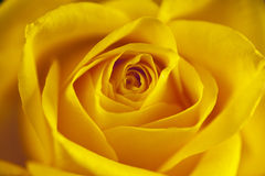 Flowers closeup. Yellow rose. Floral background Stock Images