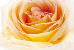 Flowers art closeup. Yellow rose. Stock Images