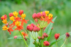 Flowers of Asclepias curassavica Royalty Free Stock Images
