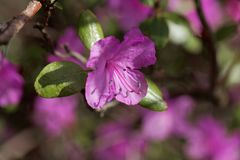 Flowers of the rhododendron species Rhododendron dauricum Royalty Free Stock Photo