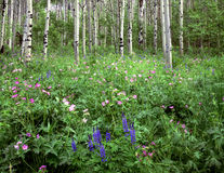 Flowers&Aspens. Wild flowers growing in an aspen forest Stock Photos