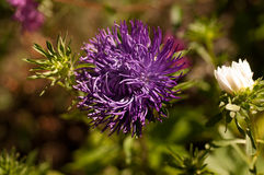 Flowers aster close-up Stock Image