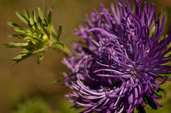 Flowers aster close-up Royalty Free Stock Photos