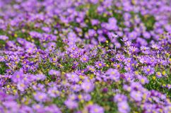 Flowers (Aster). Flowers nature garden summer field bed Stock Photo