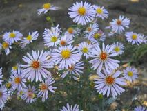 Flowers `aster perennial` Royalty Free Stock Image