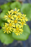 Flowers of Asteraceae Stock Photo