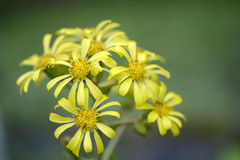Flowers of Asteraceae Stock Photos