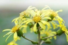 Flowers of Asteraceae Royalty Free Stock Image