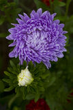 Flowers asters. Royalty Free Stock Image