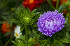 Flowers asters. Royalty Free Stock Images