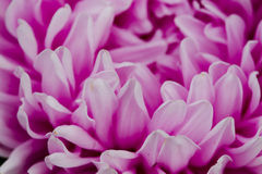 Flowers asters. Royalty Free Stock Photography
