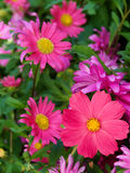Flowers  asters  camomiles Royalty Free Stock Images