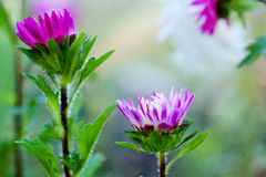 Flowers Asters. In a field Royalty Free Stock Images