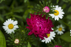 Flowers asters. Royalty Free Stock Photos