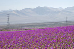 Flowers in the Atacama Desert, Chile. The atacama desert, in northern Chile, is filled with fuchsia flowers because of the climatic phenomenon `El Niño Stock Photography