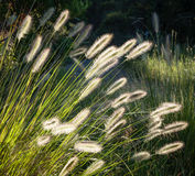 Flowers of Australian Grass Pennisetum alopecuroides Glowing in. Beautiful flower spikes of Australian native Dwarf Foxtail Grass (Pennisetum alopecuroides) stock photography