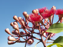 Flowers of Australian red bloodwood eucalypt Summer Red Royalty Free Stock Image