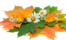 Flowers and autumn leaves on a white background Stock Photography