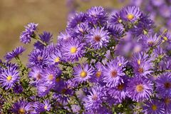 Flowers of autumn royalty free stock images
