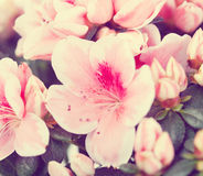 Flowers of an azalea Royalty Free Stock Images