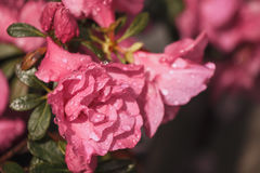 Flowers azaleas in the water droplets. Flowers azaleas in a drop of water in the spring Stock Photos