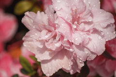 Flowers azaleas in the water droplets Royalty Free Stock Photo