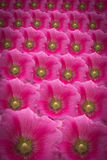 Flowers background. Many pink flowers background for texture Stock Photography