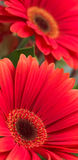 Flowers Background. Red flowers background, focus is on centre of flower only Royalty Free Stock Image
