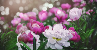Flowers background. Beautiful pink and red peonies in field Stock Photography