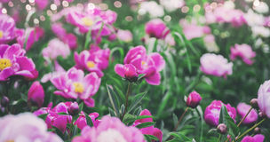 Flowers background. Beautiful pink and red peonies in field Royalty Free Stock Image