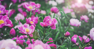 Flowers background. Beautiful pink and red peonies in field Royalty Free Stock Photos