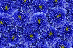 Flowers  background .Blue flowers chrysanthemum. Close-up.  Floral collage.  Flower composition. Royalty Free Stock Photo
