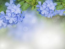Flowers background with  Blue plumbago Stock Photo