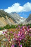 Flowers on a background of Chalaadi Glacier. royalty free stock photo