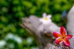 Flowers in the background, Champa flower.  Stock Photography