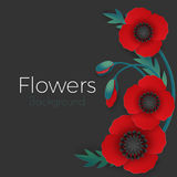 Flowers background with full blown and still blooming red poppies Royalty Free Stock Image