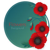 Flowers background with full blown and still blooming red poppies Royalty Free Stock Photos